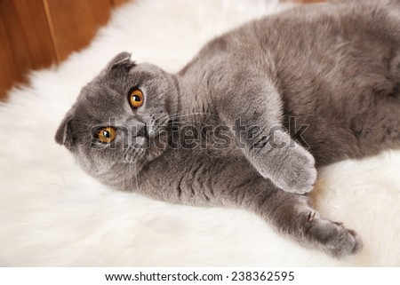 Lying British cat on fur rug on wooden background - stock photo