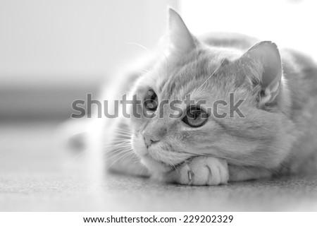 lying cat - stock photo