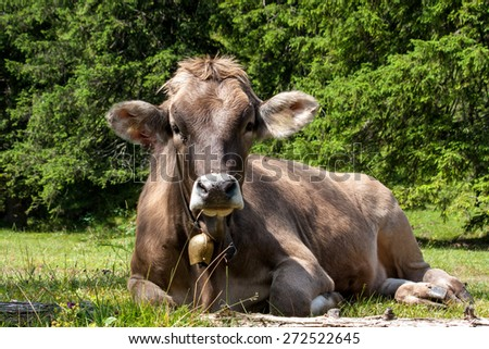 Lying cow on the meadow - stock photo