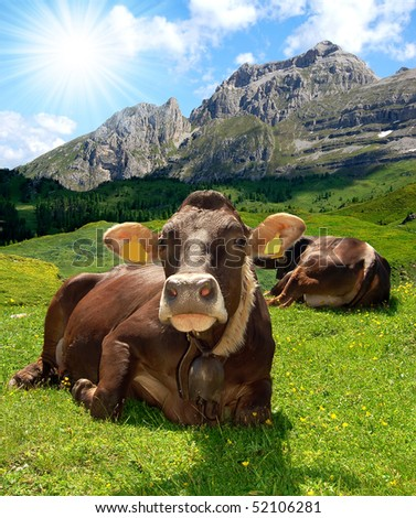 Lying cow pasture behind the mountain Brenta- Dolomites Italy - stock photo