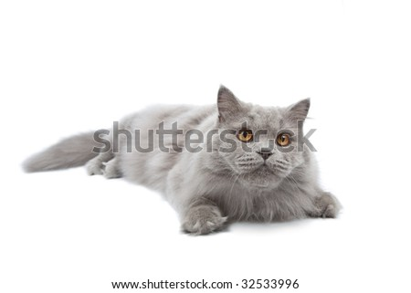 lying cute british cat isolated - stock photo