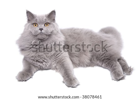 lying cute british cat isolated