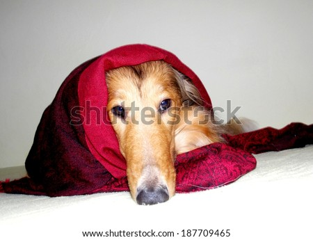 Lying dog in red blanket - stock photo