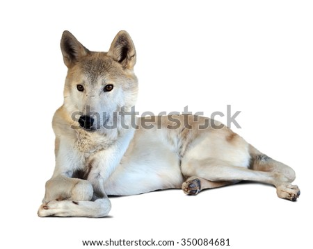 lying grey wolf (canis lupus) over white with shade