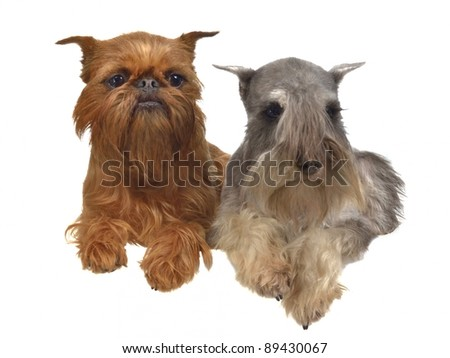 Lying griffon and schnauzer dogs above white banner isolated - stock photo