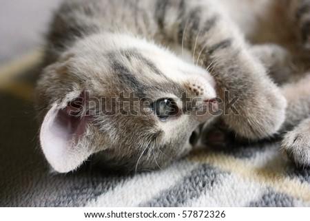 Lying kitten - stock photo