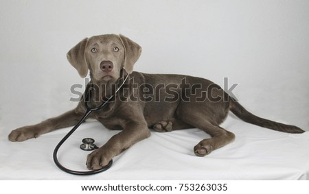 lying Labrador puppy doctor with stethoscope looks into the camera