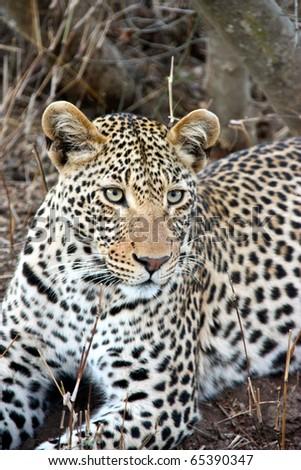 Lying leopard in Kruger park (Panthera pardus pardus) - stock photo