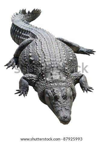 Lying Nile crocodile isolated on white background - stock photo