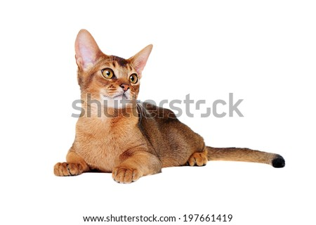 lying on the floor  abyssinian cat front view - stock photo