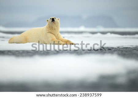 Lying polar bear on drift ice arctic Svalbard - stock photo