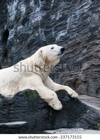 Lying polar bear situated on a rock - stock photo