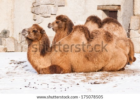 Lying resting camels on snow - stock photo