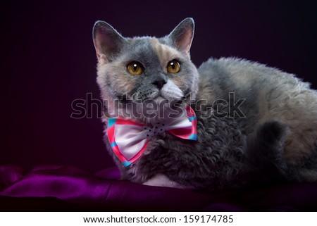 lying Selkirk Rex cat - stock photo