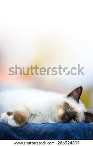 lying siamese kitten look at you blue eyes - stock photo