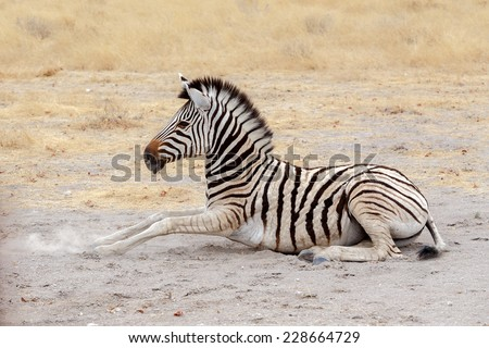 lying small Zebra in african bush. Etosha national Park, Ombika, Kunene, Namibia. True wildlife photography - stock photo