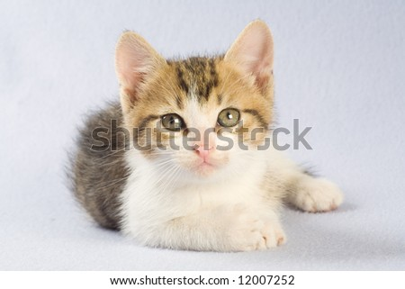 lying striped kitten, isolated