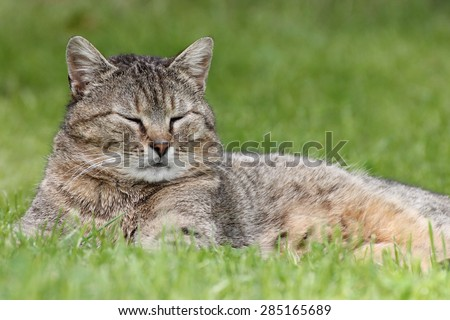 Lying tabby cat in garden on green grass
