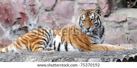 lying tiger - stock photo