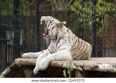 lying white tiger open jaws - stock photo