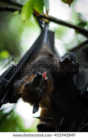 Lyle's flying fox is a big bat live in the temple, Thailand - stock photo