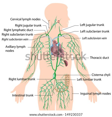 Lymphatic System Labeled Diagram Stock Illustration 149230337 ...