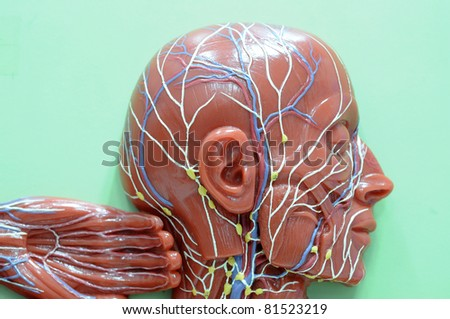 lymphatic system of human - stock photo