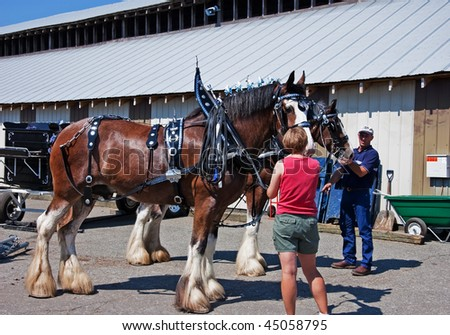 LYNDEN, WA - AUGUST 19: - An unidentified couple prepare a horse draft team for competition at Northwest Washington state fair. The event took place August 19, 2009 in Lynden, WA. - stock photo