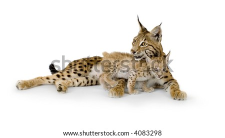 Lynx and her cub in front of a white background - stock photo
