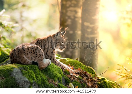 Lynx and the morning sun - stock photo