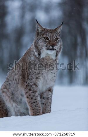 Lynx cat in snowy winter scene, Norway - stock photo