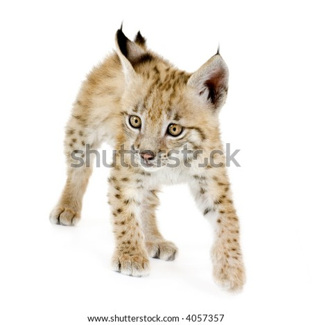 Lynx cub in front of a white background - stock photo