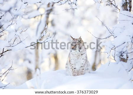 Lynx cub in the cold winter forest - stock photo