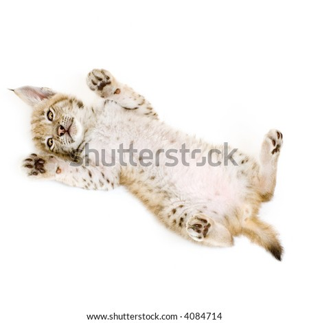 Lynx cub on his back in front of a white background - stock photo