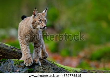 Lynx, Eurasian wild cat walking on green moss stone with green forest in background, animal in the nature habitat, Germany - stock photo