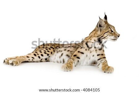 Lynx in front of a white background - stock photo