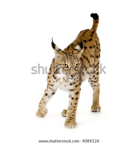 Lynx in front of a white background