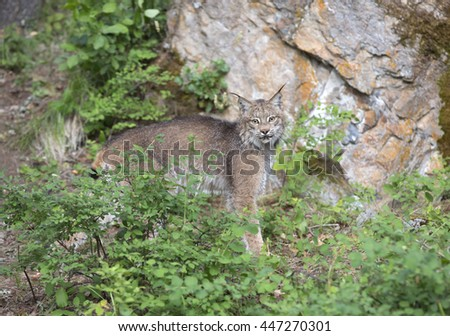 Lynx in front of large rock