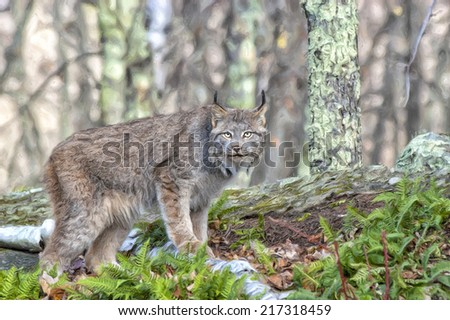Lynx in Northern Minnesota forest
