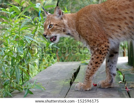 Lynx in the forest. Lithuania - stock photo