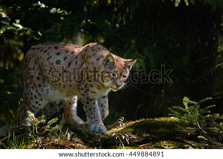 Lynx in the forest. Wild cat Lynx in the nature forest habitat. Eurasian Lynx in the forest, birch and pine forest. Lynx lying on the green moss stone. Cute lynx, wildlife scene from nature, Slovakia - stock photo