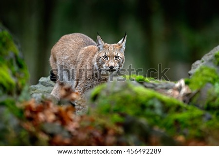Lynx in the moss stone forest. Lynx, Eurasian wild cat walking on green moss rock with green forest in background, animal in the nature habitat, Germany. Wildlife scene from Europe. Hidden cat. - stock photo