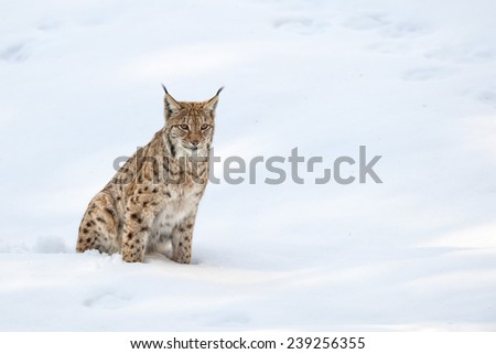 Lynx in the snow background while looking at you suspicious - stock photo
