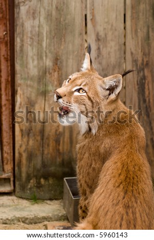 lynx in the zoo - stock photo