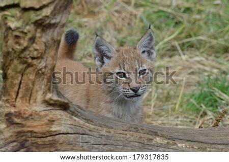 Lynx Kitten - stock photo