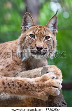 Lynx lying on the background of wild nature