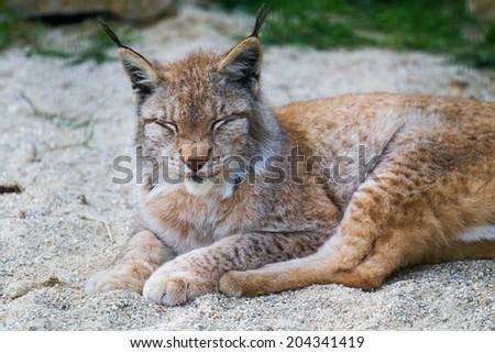 lynx lynx - stock photo