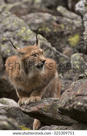 Lynx/Lynx/Czech Republic - stock photo