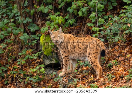 Lynx (Lynx lynx) standing in the Bavarian forest, during fall. - stock photo