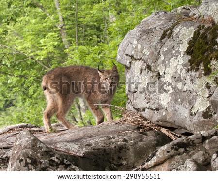 Lynx on Rocks - stock photo